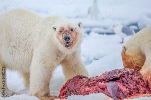 Recess Fitting Polar bear Polar Bear (Ursus maritimus) Spitsbergen North Ocean