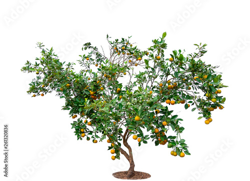 Foto auf Leinwand Baume A orange tree on Isolated white background, Citrus Japonica Thunb is trees from Thailand