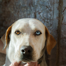 Dog  With Different Eye Colour. Portrait.