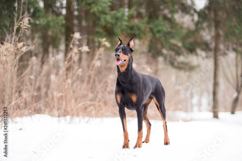 Leinwand Poster Dog breed Doberman plays in the winter forest