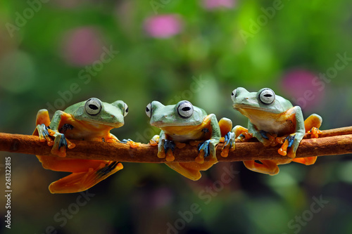 Spoed Foto op Canvas Kikker flying frog family, tree frog, java tree frog