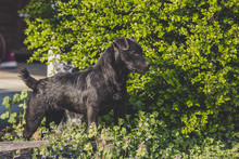 Patterdale Terrier - Room For Titles