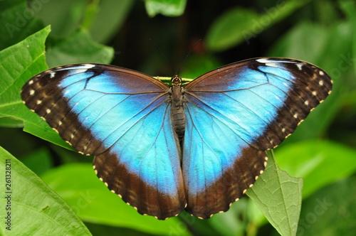 Fototapeta butterfly blue morpho