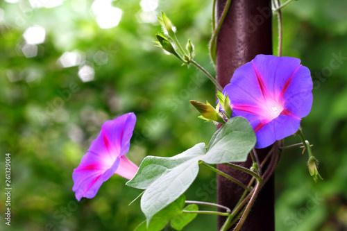 Fotografie, Tablou  Morning Glory flowers twine upward along the pipe