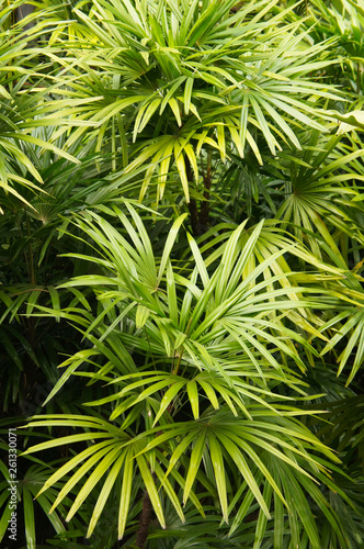 Rhapis excelsa broadleaf lady palm or bamboo palm vertical Tablou Canvas