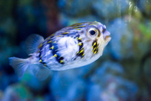 Blurry Photo Of A Porcupine Puffer Fish Freckled Porcupinefish In A Sea Aquarium