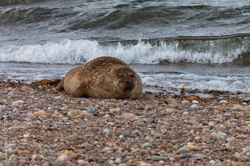 Photo  A basking Common or Harbor Seal (Phoca vitulina) at Portgordon beach, Buckie, Mo