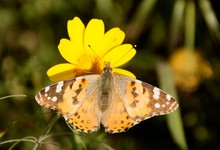Details Of A Wild Painted Lady Butterfly With Flower