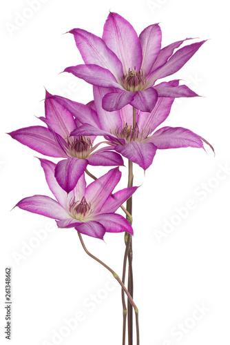Deurstickers Bloemenwinkel clematis flower isolated
