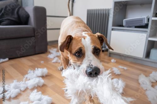 Fototapeta A dog destroying a fluffy pillow at home. Staffordshire terrier tearing apart a piece of homeware, close-up view obraz