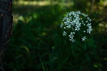 White Garlic Flowering Heads Of Garlic, Known As Garlic, Chinese Onion, Oriental Garlic, Chinese Leek, Blooming In Autumn.