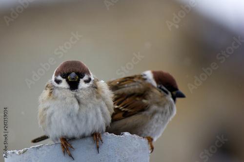 Foto op Plexiglas Vogel tree sparrow