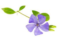Purple Flower - Beautiful Periwinkle - Vinca Minor - Isolated On White Background. Blue Periwinkle (Vinca Minor) Isolated On White Background. Periwinkle Flower Isolated On White Background.