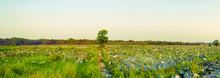 Panorama Of Lotus Fields In Ru...
