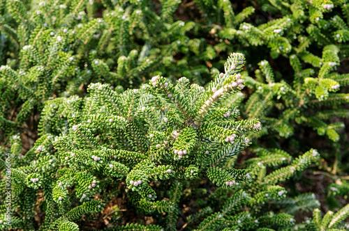Canvas Print balsam fir, abies balsamea