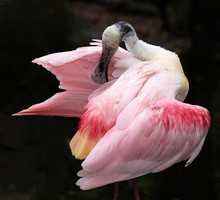 Pink Roseate Spoonbill With Red Highlights And A Large Flat Spoon-shaped Bill Is Preening Its Feathers Against A Dark Background.