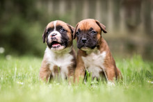 Hunde Rassehunde Zwei Kleine Süße Boxer Welpen Auf Einer Wiese Freundschaft