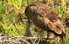 Short Toed Snake Eagle Feeding Nestling