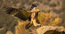 Short Toed Snake Eagle Landing On Rock