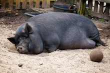 A Very Large Potbelly Pig Slee...