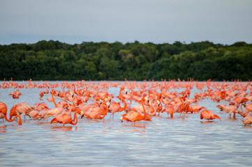 Fototapeta Ptaki Pink Flamingo Merida Yucatan Mexico