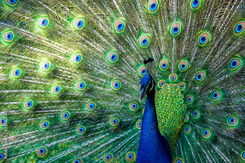 In de dag Pauw A peacock displaying their feathers