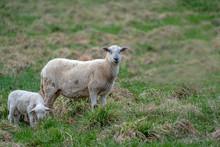 Newborn Baby Lamb Drinking Milk From Mother In Grass On Organic Farm