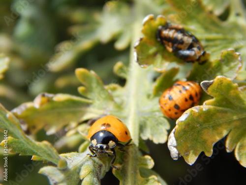 Fotografie, Obraz  Ladybug and ladybug pupae on green Plant - Coccinella septempunctata