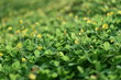 Green plant and green shrub with selective focusing and blured background in morning moment
