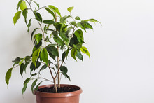 Potted Ficus Benjamin Houseplant Against A White Wall. Styled Mockup For Text Template