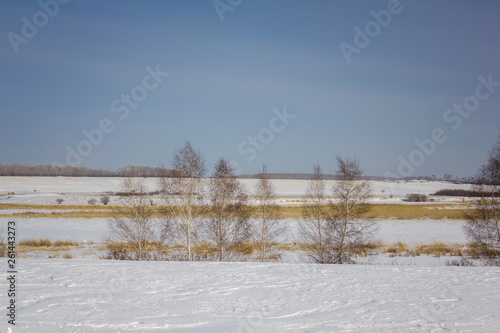 Foto  black and white birch trees against a dry snowy winter valley under a clear blue