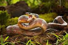 Puffing Snake - Phrynonax Poecilonotus Is A Species Of Nonvenomous Snake In The Family Colubridae. The Species Is Endemic To The New World.