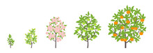 Mandarin Tree Growth Stages. Vector Illustration. Ripening Period Progression. Fruit Tree Life Cycle Animation Plant Seedling. Tangerine Increase Phases. Color Illustration Clipart.