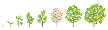 Pear Tree Growth Stages. Vector Illustration. Ripening Period Progression. Pear Fruit Tree Life Cycle Animation Plant Seedling. Pear Increase Phases.