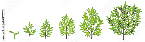 Fototapeta Olive tree growth stages. Vector illustration. Ripening period progression. Olive black tree life cycle animation plant seedling. European olive phases. obraz
