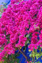 Red Flowers On A Blue Fence Af...