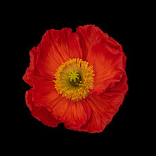 Floral Fine Art Still Life Color Macro Of An Isolated Dark Red Yellow Satin/silk Poppy Wide Opened Blossom Isolated On Black Background With Detailed Texture In Surrealistic Vintage Painting Style