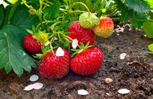 Growing Strawberries.