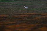 Grey heron in field in nature reserve. - 261511636