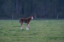 Foal In Meadow At Dusk.