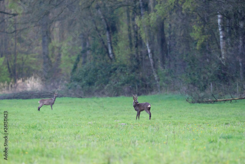 La pose en embrasure Equitation Roe buck and goat in forest meadow.