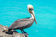Pelican Sitting On The Sea Cliff