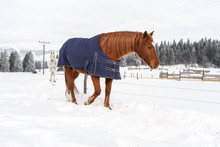 Brown Horse Walking In Snow, Covered With A Blanket Coat To Keep Warm During Winter, Wooden Ranch Fence And Trees In Background