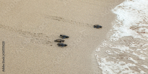 Baby turtles, just hatched from eggs, walking on sand trying to get into sea Canvas-taulu