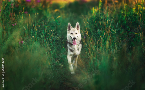 Front view at husky dog walking on a green meadow looking at camera Fototapete