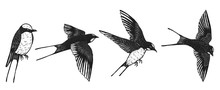 Swallows Vector By Hand Drawin...