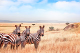 Fototapeta Sawanna - Group of wild zebras in the African savanna against the beautiful blue sky with clouds. Wildlife of Africa. Tanzania. Serengeti national park.