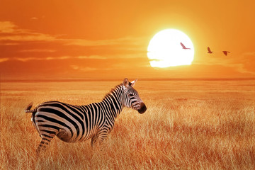 Panel Szklany Zebry African lonely zebra at sunset in the Serengeti National Park. Tanzania. Wild nature of Africa.