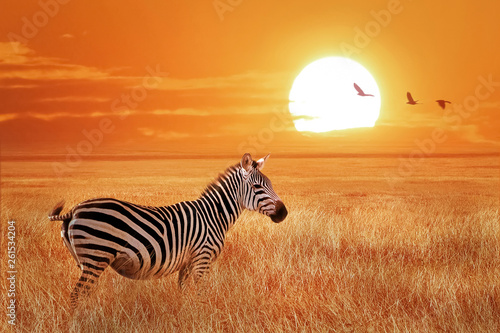 Poster Zebra African lonely zebra at sunset in the Serengeti National Park. Tanzania. Wild nature of Africa.