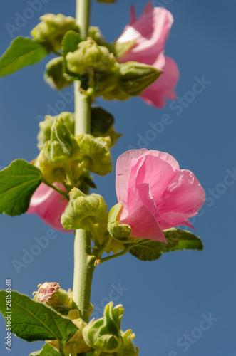 Fotografia  Stalk with Pink Flowers